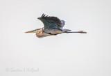 Great Blue Heron In Flight DSCN67474