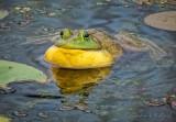Bullfrog Croaking P1030718