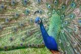 Displaying Peacock 90D-01063