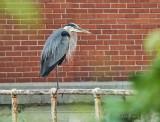 Heron On A Weir Railing P1030774