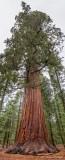Giant Sequoia 22816-7
