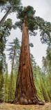 Giant Sequoia 22819-20