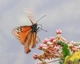 Monarch Butterfly Leaving A Milkweed Flower 90D-01256