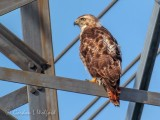 Red-tailed Hawk On A Hydro Tower P1050306