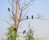 Turkey Vulture Roost 90D-01831