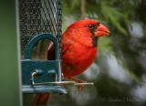 Male Cardinal On A Feeder P1050637