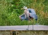 Ruffled Heron Dockside P1060097