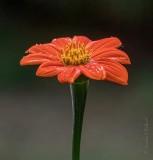 Wet Mexican Sunflower P1060235