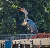 Heron On A Bridge Snapping At An Annoying Bug P1060532