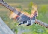 Kingfisher Taking Flight P1070141
