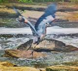 Great Blue Heron Taking Flight P1070482