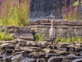 Heron On The Rocks 90D-03156 (crop)