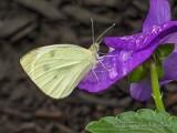 Cabbage Butterfly On A Wet Purple Flower P1070687