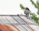 Belted Kingfisher On A Tin Roof P1080093