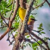 Yellow Warbler & Cedar Waxwing P1080184
