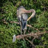 Heron Preening In The Bush P1080216
