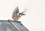 Kingfisher Waving Its Wings P1080247