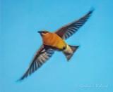 Cedar Waxwing In Flight P1080333