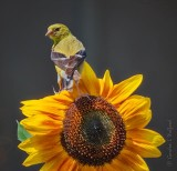 Female Goldfinch On A Sunflower P1080665