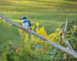 Kingfisher On A Dead Tree Limb P1080625