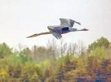 Great Blue Heron In Flight P1080688