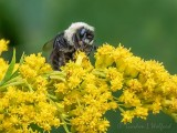 Bumble Bee On Goldenrod P1080919 (crop)