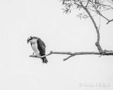 Osprey Watching For Breakfast P1080677