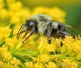 Bumble Bee On Goldenrod Closeup P1080949