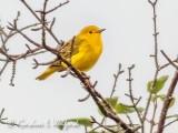 Yellow Warbler P1080863