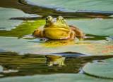 Bullfrog On A Lily Pad DSCN68221