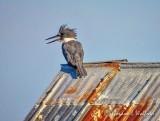 Kingfisher Panting On A Tin Roof DSCN68414