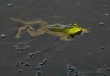 Swimming Bullfrog DSCN68477