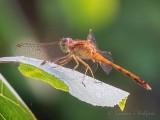 Brown Dragonfly On A Leaf DSCN68558