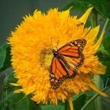 Monarch & Bug On A Yellow Flower DSCN68801