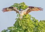 Osprey Landing In A Tree DSCN68741
