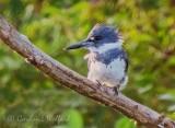Belted Kingfisher DSCN69014