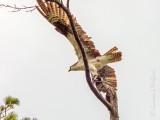 Osprey Leaving A Tree DSCN69186