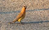 Cedar Waxwing On The Street DSCN68938