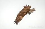 Osprey In Flight DSCN69182
