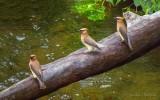 Three Cedar Waxwings On A Fallen Tree P1090022