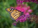Monarch Butterfly On A Purple Flower DSCN69502