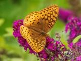 Orange Butterfly On A Purple Flower DSCN69457