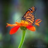 Monarch On A Mexican Sunflower DSCN69489
