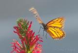 Monarch Butterfly Flying DSCN69637