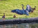 Great Blue Heron Landing DSCN69854