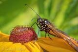 Monarch Butterfly On A Brown-eyed Susan Closeup DSCN70047