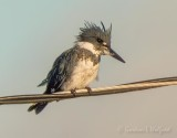 Belted Kingfisher On A Cable DSCN70235