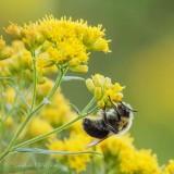 Bumble Bee Sleeping Under Goldenrod DSCN70211