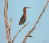 Green Heron In A Dead Tree DSCN70822