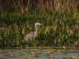 Great Blue Heron In The Swale DSCN70700